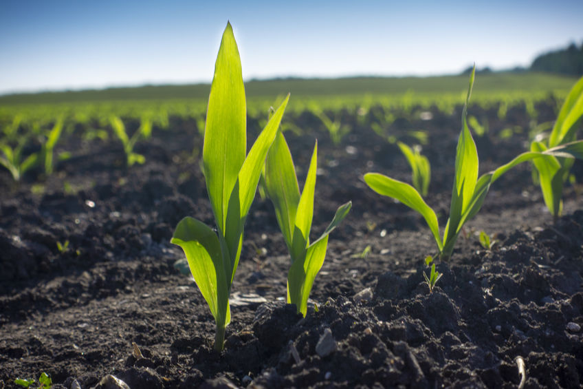 Young Green wheat seedlings growing in a soil field. Close up on
